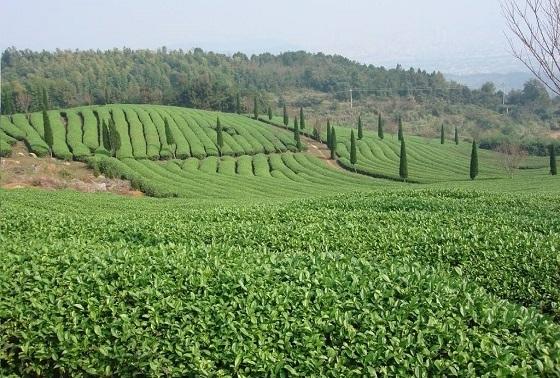 茶树叶面肥哪种最好图片